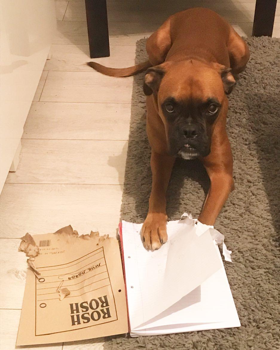 Gone! . #boxer #boxersofinstagram #zlatan #zlatanibrahimovic #dogsofinstagram …